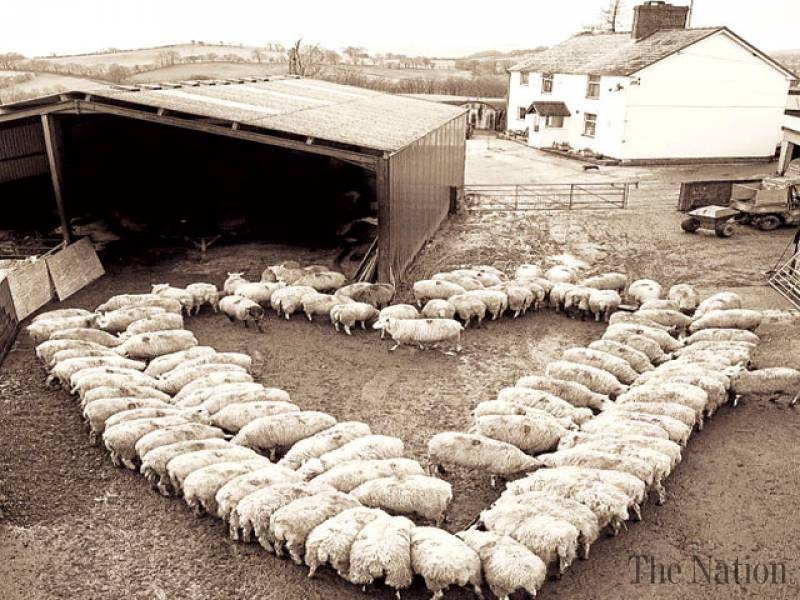the-heart-of-a-hundred-sheep-1364060865-5502.jpg